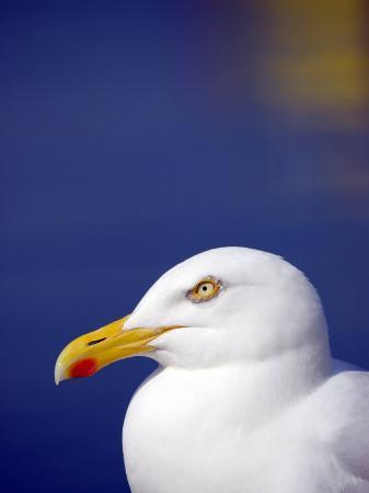 ross-hoddinott-herring-gull-cornwall-uk