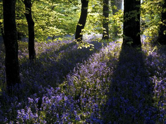 ross-hoddinott-lanhydrock-beech-woodland-with-bluebells-in-spring-cornwall-uk