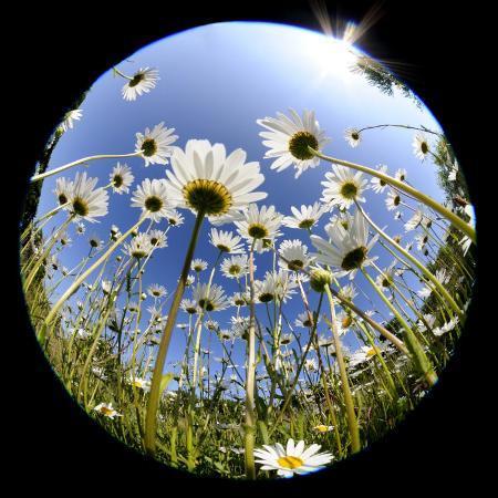 ross-hoddinott-oxeye-daisy-veiwed-through-fish-eye-lens-devon-uk-june-08