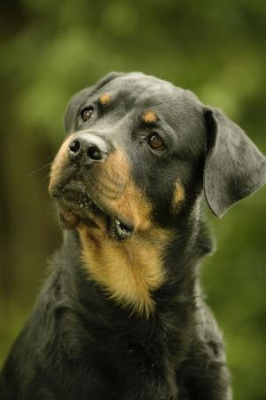 rottweiler-dog-with-head-tilted