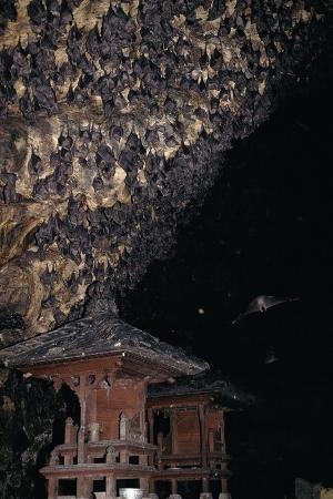 rousettus-fruit-bats-at-goa-lawah-bat-cave-temple-bali-indonesia