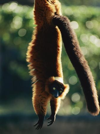 roy-toft-a-captive-red-ruffed-lemur-hangs-from-a-tree