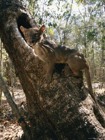 roy-toft-a-fossa-stands-on-a-tree-trunk
