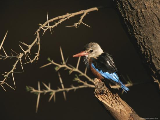 roy-toft-a-gray-headed-kingfisher-perched-on-a-tree-branch