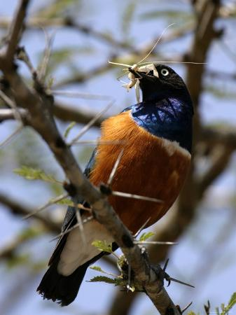 roy-toft-a-superb-starling-with-a-grasshopper-in-its-mouth-lamprotornis-superbus