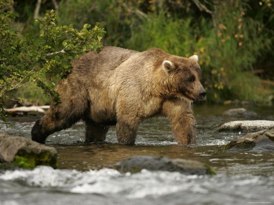roy-toft-alaskan-brown-bear-ursus-arctos-walking-in-river-and-fishing