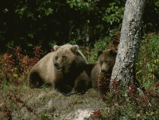 roy-toft-an-alaskan-brown-bear-and-her-cub-at-rest-on-the-edge-of-a-wood