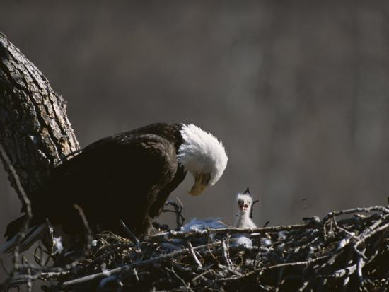 roy-toft-an-american-bald-eagle-and-chick