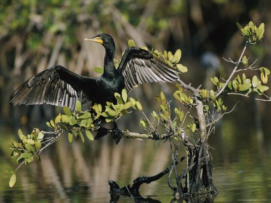 roy-toft-double-crested-cormorant-with-wings-outstretched