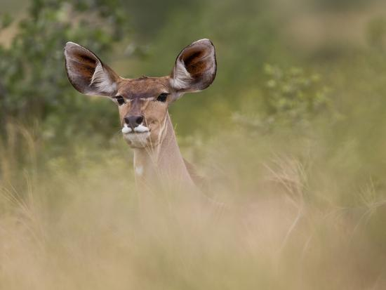 roy-toft-portrait-of-a-greater-kudu-tragelaphus-strepsiceros