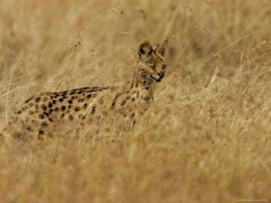 roy-toft-serval-leptailurus-serval-on-alert-hunts-in-a-field