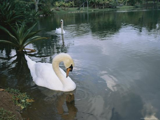 roy-toft-swans-float-in-the-water