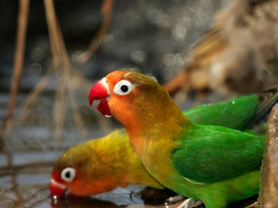 roy-toft-two-fishers-lovebirds-drinking-water-agapornis-fischeri