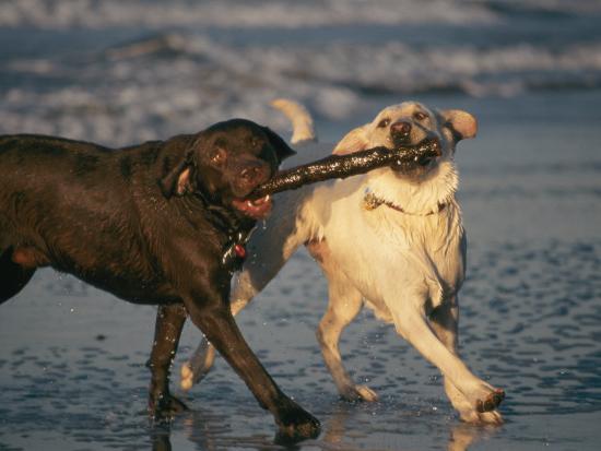 roy-toft-two-labrador-retrievers-play-with-a-stick-on-a-beach