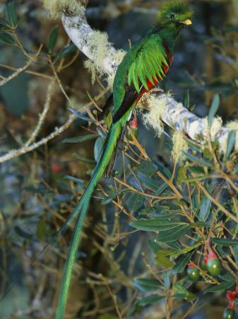 roy-toft-view-of-a-male-resplendent-quetzal-pharomachrus-mocinno-costricensis