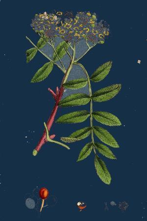 rubus-chamaemorus-cloudberry