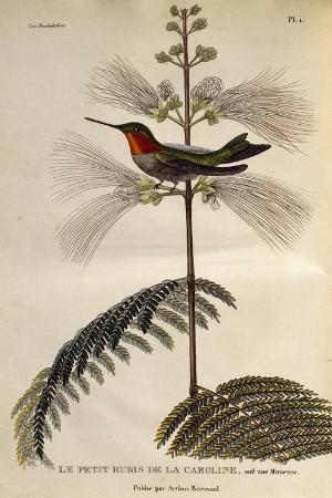 ruby-throated-hummingbird-archilochus-colubris