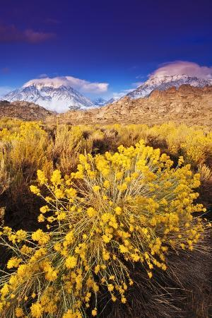 russ-bishop-dawn-light-on-rabbitbrush-and-sierra-crest-inyo-national-forest-california