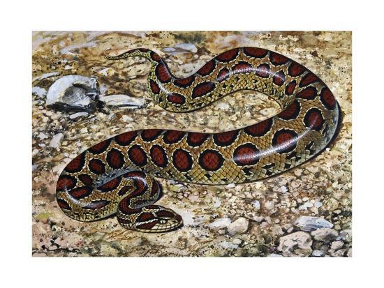 russel-s-viper-daboia-russelii-viperidae-drawing