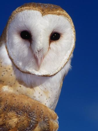 russell-burden-barn-owl