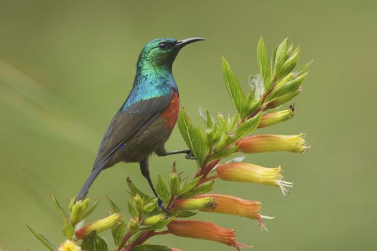 ruwenzori-double-collared-sunbird