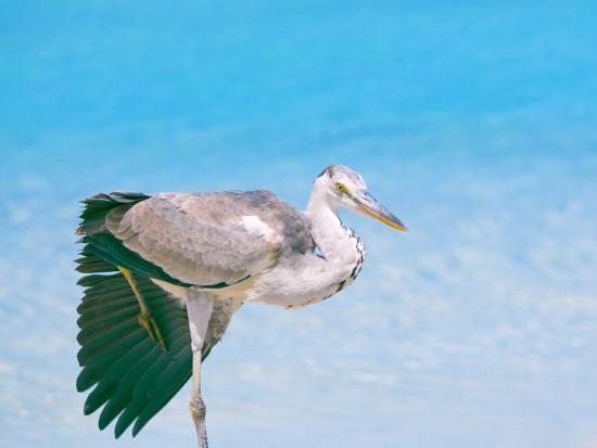 sakis-papadopoulos-blue-heron-maldives-indian-ocean-asia