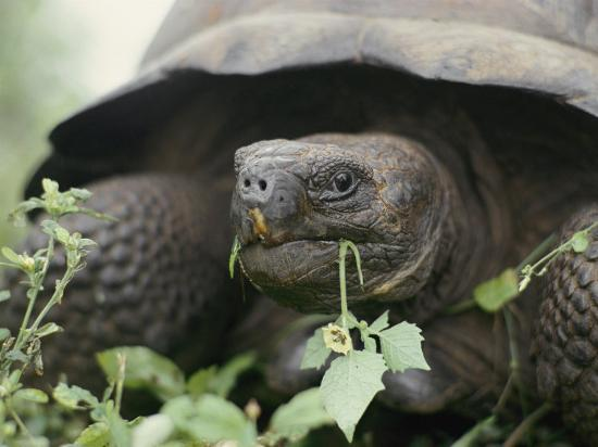sam-abell-alcedo-volcano-is-home-to-one-of-the-largest-concentration-of-giant-galapagos-tortoises