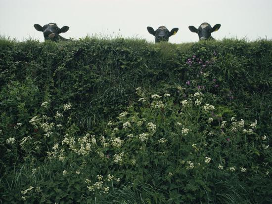 sam-abell-three-cows-peer-over-a-hedge-garlanded-with-wildflowers