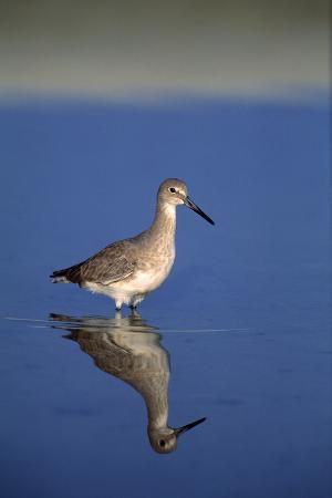sand-piper-bird