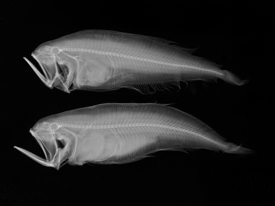 sandra-j-raredon-bothid-flatfish
