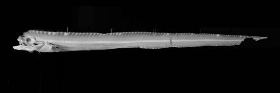 sandra-j-raredon-channel-scabbardfish