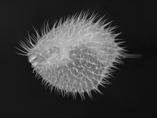 sandra-j-raredon-long-spine-porcupinefish