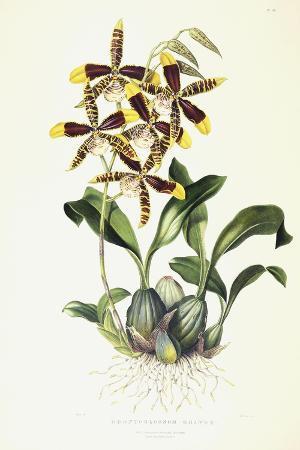 sarah-ann-drake-odontoglossom-grande-c-1837-1843