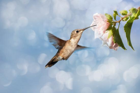 sari-oneal-dreamy-image-of-a-hummingbird-feeding-on-a-pale-pink-hibiscus-flower