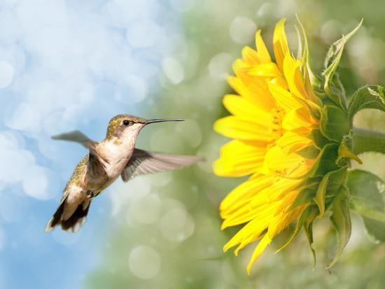sari-oneal-dreamy-image-of-a-hummingbird-next-to-a-sunflower