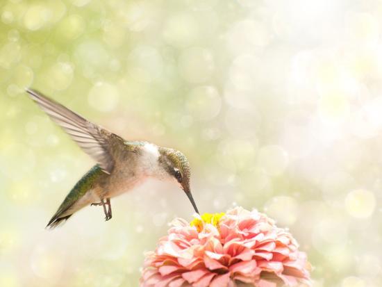 sari-oneal-dreamy-image-of-a-ruby-throated-hummingbird-feeding-on-a-pink-zinnia