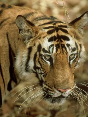 satyendra-k-tiwari-tiger-portrait-india