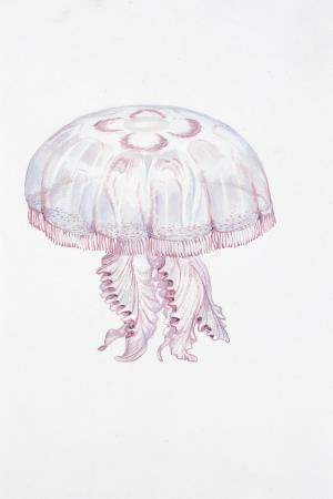 saucer-jelly-aurelia-aurita
