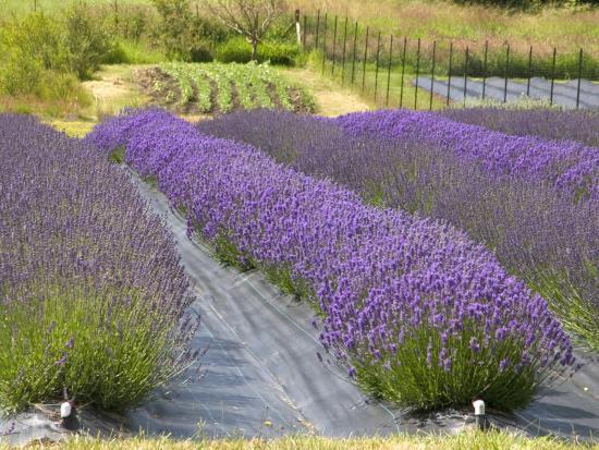 savanah-stewart-lavender-farm-san-juan-islands-washington-usa