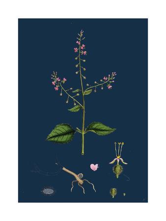 saxifraga-granulata-white-meadow-saxifrage