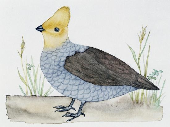 scaled-quail-callipepla-squamata-odontophoridae