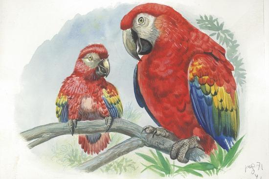 scarlet-macaw-ara-macao-with-chick