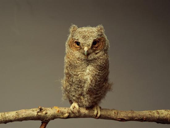 scott-sroka-a-screech-owl