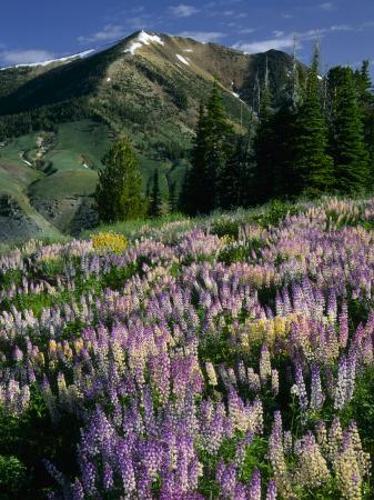 scott-t-smith-lupine-and-subalpine-firs-humboldt-national-forest-jarbridge-wilderness-and-mountains-nevada