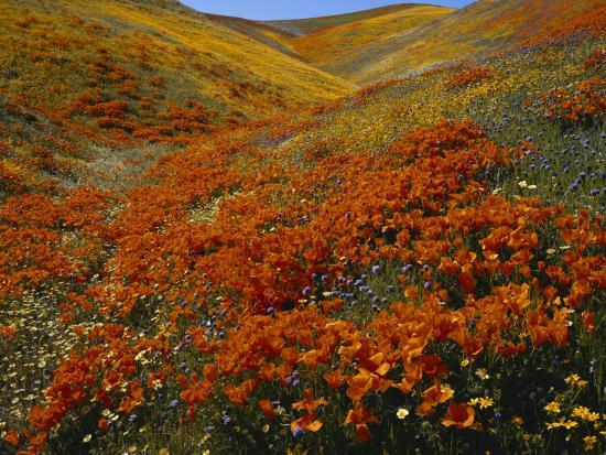 scott-t-smith-poppies-growing-on-valley-antelope-valley-california-usa