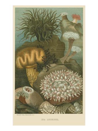 sea-anemones