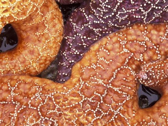 sea-stars-detail-shi-shi-beach-olympic-national-park-washington-usa