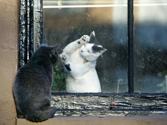 separated-by-a-pane-of-glass-a-white-cat-tries-to-play-with-a-black-cat
