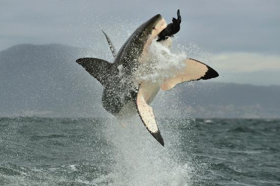 sergey-uryadnikov-great-white-shark-carcharodon-carcharias-breaching-in-an-attack-hunting-of-a-great-white-shark
