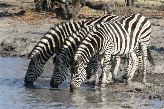sergio-pitamitz-burchell-s-zebras-equus-burchelli-khwai-concession-okavango-delta-botswana-africa